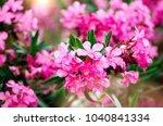Blooming Pink Oleander Flowers...
