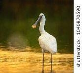 White Eurasian Spoonbill...