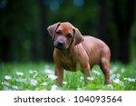 cute rhodesian ridgeback puppy... | Shutterstock . vector #104093564