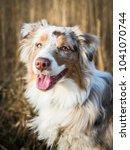 Small photo of Red merle australian shepherd puppy portrait