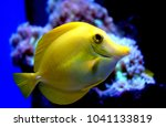 The Yellow Tang Zebrasoma...