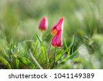 schrenck's tulips  tulipa  in... | Shutterstock . vector #1041149389