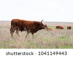 cattle colloquially cows are... | Shutterstock . vector #1041149443