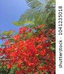 Small photo of Blooming flamboyant tree