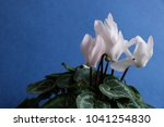 cyclamen with white flowers | Shutterstock . vector #1041254830