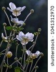 dainty japanese anemone flowers ... | Shutterstock . vector #1041312970