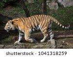 siberian tiger  panthera tigris ... | Shutterstock . vector #1041318259