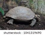 asian giant tortoise  manouria... | Shutterstock . vector #1041319690