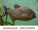 red piranha  pygocentrus... | Shutterstock . vector #1041319693