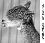 alpaca is a domesticated... | Shutterstock . vector #1041508939