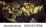 grape vine with green leaves in ...   Shutterstock . vector #1041517858