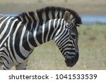 zebra in kruger national park   ... | Shutterstock . vector #1041533539