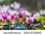 bright pink and white cyclamen... | Shutterstock . vector #1041553840