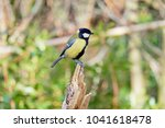 Small photo of A Great Tit perched on the stump of a broken Silver Birch sapling, looking to the right.