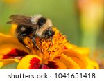 bumblebee gathers nectar on a... | Shutterstock . vector #1041651418