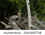 great blue heron shows its... | Shutterstock . vector #1041685738