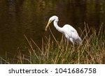 great egret bird ardea alba...   Shutterstock . vector #1041686758
