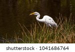 great egret bird ardea alba...   Shutterstock . vector #1041686764