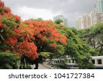 the flame tree flower   royal... | Shutterstock . vector #1041727384