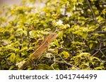 close up shot of brown lizard...   Shutterstock . vector #1041744499