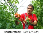 Farmer picking tomato in a greenhouse - stock photo