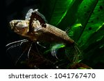 Small photo of African Butterflyfish or freshwater butterflyfish (Pantodon buchholzi)