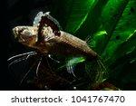 african butterflyfish or... | Shutterstock . vector #1041767470