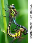 Mating Of A Pair Of Dragonflie...