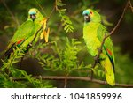 Two Parrots  Turquoise Fronted...