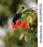 Hummingbirds   Hibiscus