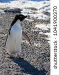 Small photo of Adelie penguin on rock