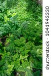 Small photo of Adiantum,Spike moss (Selaginella involvens (Sw.) Spring) in a garden