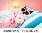 Stock photo cool funny poodle dog resting and relaxing in spa wellness salon center wearing a bathrobe and 1042007923