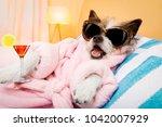 cool funny  poodle dog resting...   Shutterstock . vector #1042007929