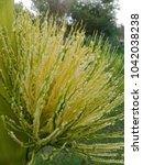 betel nut flower   areca nut... | Shutterstock . vector #1042038238
