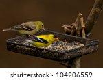 American Goldfinch  Spinus...