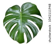 Small photo of monstera leave texture tropical isolated on a white background. This has clipping path.