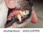 cavity on dog teeth close up.... | Shutterstock . vector #1042135990