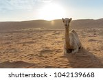 Small photo of Sitting camel in Wahabi Sands Desert, Oman. Silhouette shooting style with mountain background. Copy space on the left hand side.