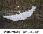 great white egret   Shutterstock . vector #1042168534