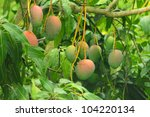 Close Up Of Mangoes On A Mango...
