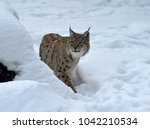 eurasian lynx  lynx lynx ...   Shutterstock . vector #1042210534