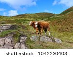 highland cows along the west... | Shutterstock . vector #1042230403