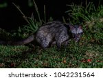 asian palm civet or paradoxurus ... | Shutterstock . vector #1042231564
