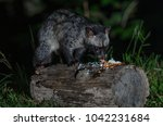 asian palm civet or paradoxurus ... | Shutterstock . vector #1042231684
