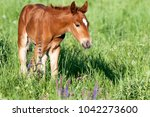 horse foal on pasture. a herd... | Shutterstock . vector #1042273600
