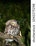 portrait of cute little owl... | Shutterstock . vector #1042275298