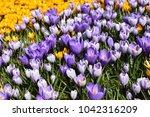 purple and yellow crocus field. ... | Shutterstock . vector #1042316209