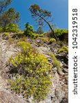 Small photo of Euphorbia sp. (euphorbiaceae)