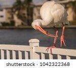injured beautiful white ibis...   Shutterstock . vector #1042322368